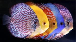 Discus-Heckel-Symphysodon-aequifasciatus-alimentation-ponte-oeufs-petits-jeunes-eau-turquoise-rouge-poisson-cichlidé-eau-douce-aquarium-aquariophilie-animal-animaux-compagnie-animogen-3